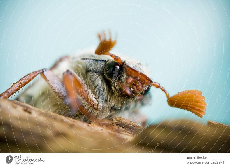 Porträt eines Maikäfers (Halbprofil) Natur Tier Auge Frühling sitzen niedlich Fell Tiergesicht Insekt Käfer krabbeln Fühler Facettenauge Vor hellem Hintergrund