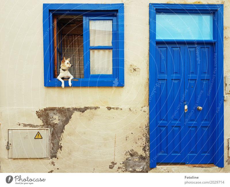 He komm zurück! Haus Mauer Wand Fassade Fenster Tür Tier Hund Tiergesicht Fell Pfote 1 blau grau Haushund Fensterbrett Fensterscheibe direkt beobachten Neugier