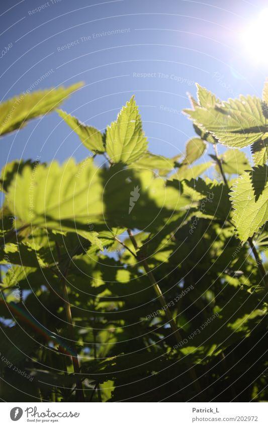 Urtica Natur grün blau Sonne Pflanze Blatt groß wild nah durcheinander Schönes Wetter Wolkenloser Himmel hell-blau Wildpflanze Brennnessel
