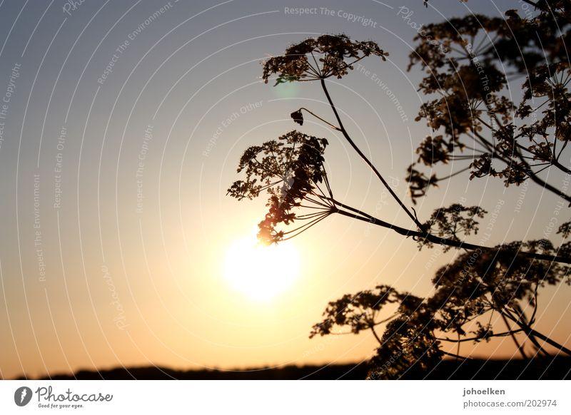 Gegenliebe Natur Pflanze Himmel Wolkenloser Himmel Sonne Sonnenaufgang Sonnenuntergang Sonnenlicht Sommer Schönes Wetter Blüte Wildpflanze Wiese Menschenleer