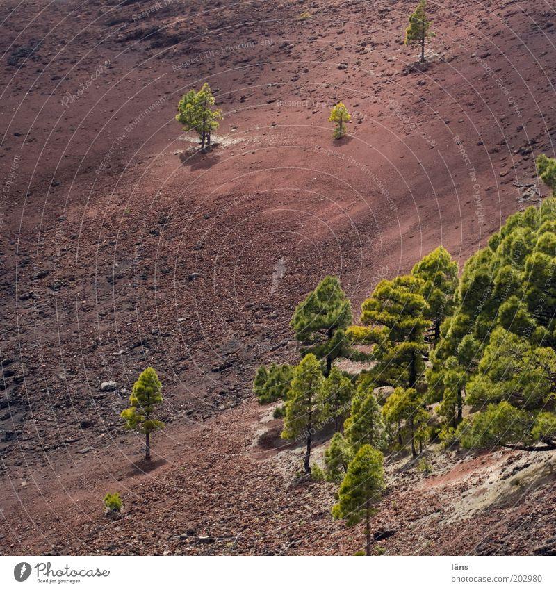 teilweise Natur Baum Landschaft Umwelt Erde außergewöhnlich trocken Urelemente kahl Vulkan Kiefer Kanaren Spanien Berge u. Gebirge Wäldchen vereinzelt