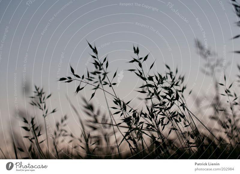Zikadenhimmel Natur schön Himmel blau Pflanze ruhig dunkel Wiese Gras Halm Abenddämmerung Grasland Graswiese