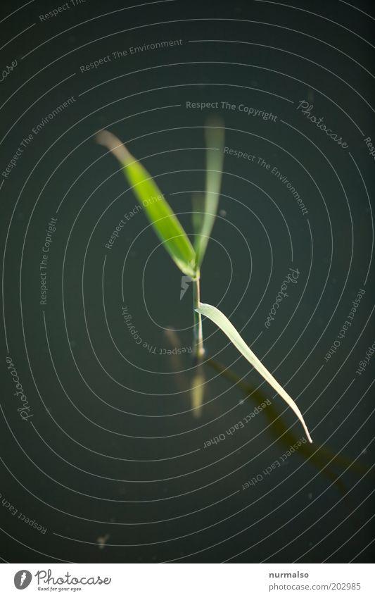 jungschilf Natur grün Pflanze Gras klein Wachstum dünn Seeufer Schilfrohr Flussufer Halm Umweltschutz nachhaltig Umweltverschmutzung Wasserpflanze
