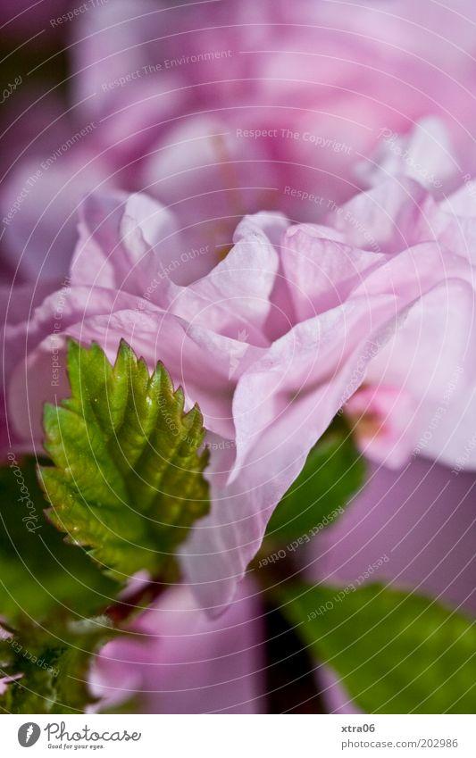 rosa mit grün Natur Pflanze Blume Sträucher Blatt Blütenblatt Farbfoto Nahaufnahme Detailaufnahme Makroaufnahme