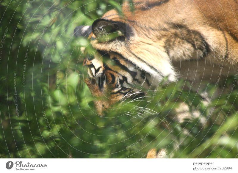 auf leisen sohlen grün Sommer Tier Wald Wärme braun Wildtier ästhetisch Sträucher bedrohlich Fell Jagd Urwald exotisch Tiger Aggression