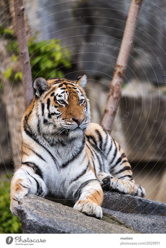 Ausguck Tier Tiergesicht Fell Krallen Pfote 1 beobachten sitzen wild braun grau grün Tiger ruhig Farbfoto Außenaufnahme Menschenleer Tag Tierporträt Profil