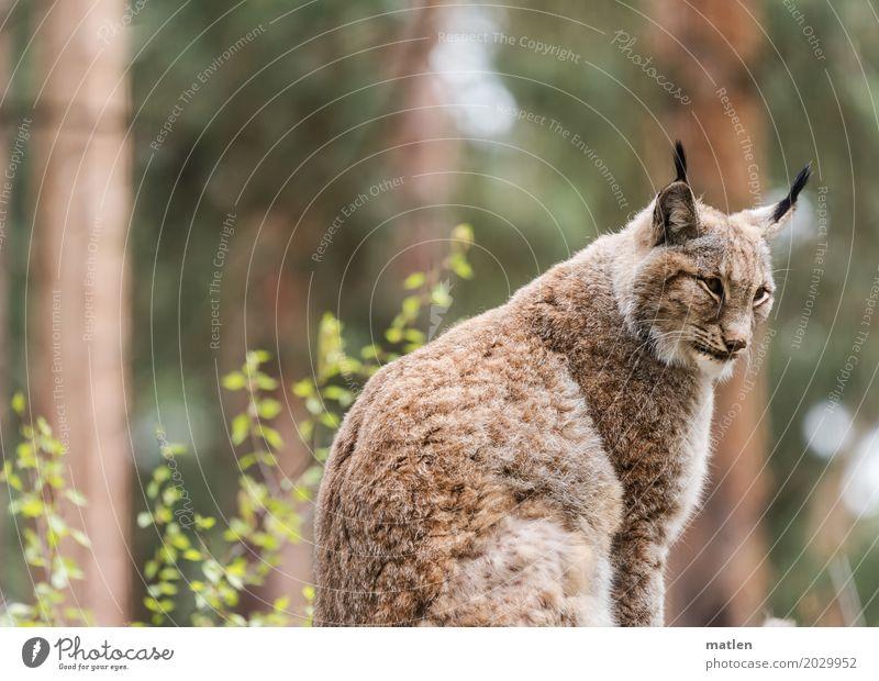 Mieze Natur Pflanze grün Baum Tier Wald braun Wildtier beobachten Ohr Tiergesicht Luchs