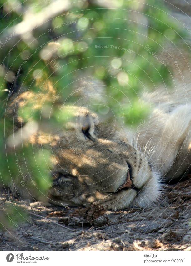 lion in addo Tier Kopf elegant Tiergesicht liegen Wildtier exotisch Katze kuschlig Löwe Afrika Versteck listig Südafrika Kapstadt