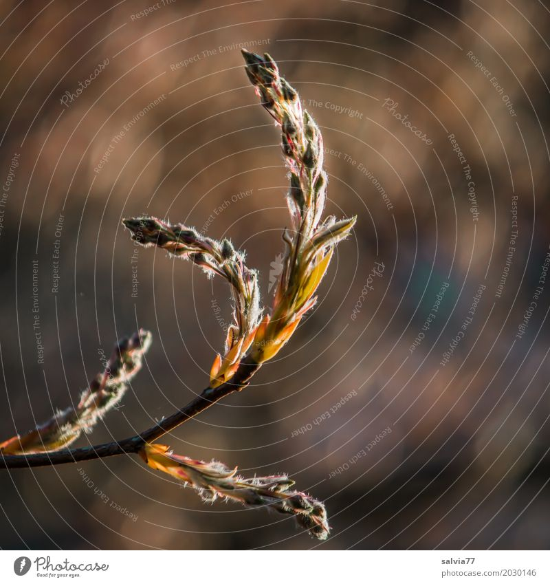 nach oben gebogen Umwelt Natur Pflanze Frühling Sträucher Blatt Blüte Felsenbirne Zweige u. Äste Blütenknospen Park Wachstum ästhetisch blau braun grau