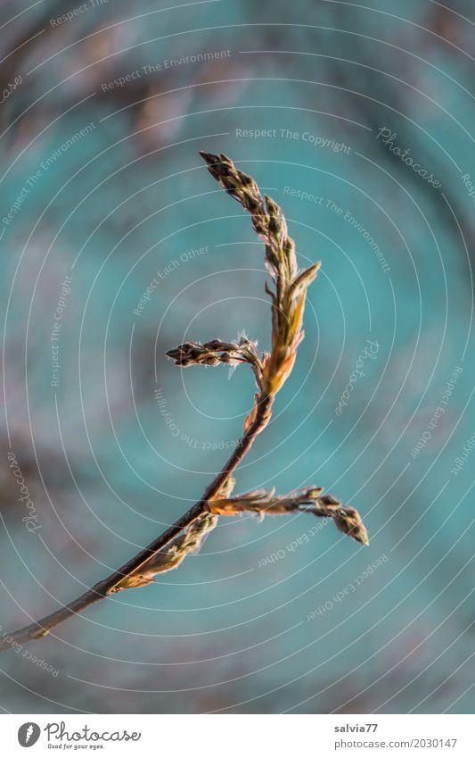 Knospen Natur Himmel Frühling Pflanze Sträucher Zweige u. Äste Blattknospe Blütenknospen Trieb Wachstum natürlich positiv blau braun Frühlingsgefühle ruhig Duft
