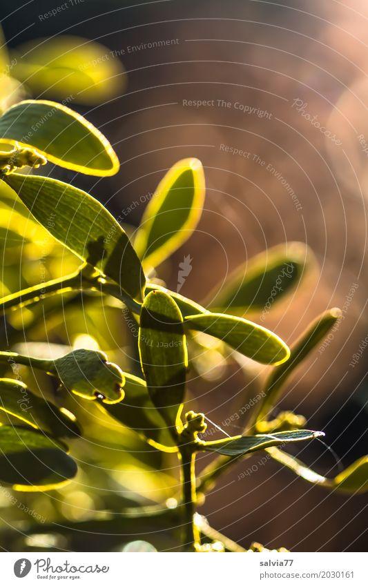 Mistel Natur Pflanze Frühling Schönes Wetter Blatt Wildpflanze gelb grün Gesundheitswesen Volksglaube Strukturen & Formen Farbfoto Gedeckte Farben Außenaufnahme