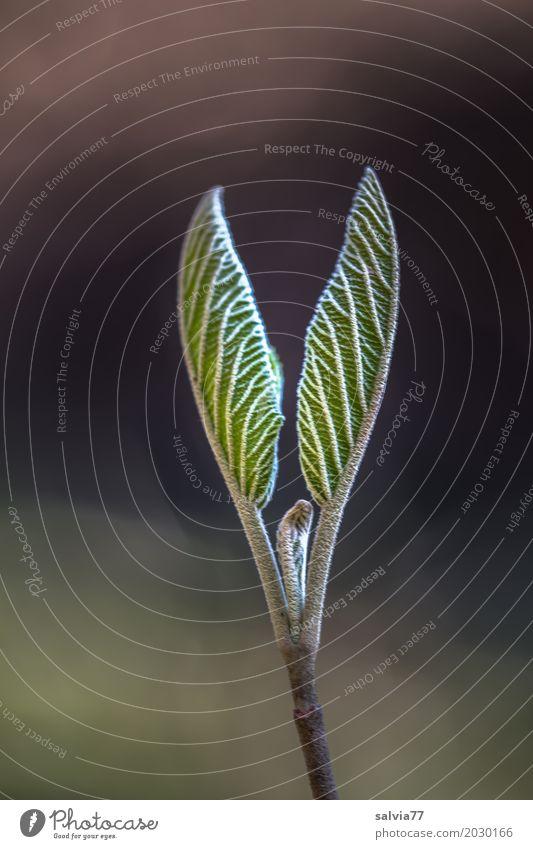 Symmetrie Natur Pflanze Frühling Baum Blatt Sträucher Baumschössling sprießen Blattadern Wald ästhetisch braun grau grün schwarz Beginn Zufriedenheit