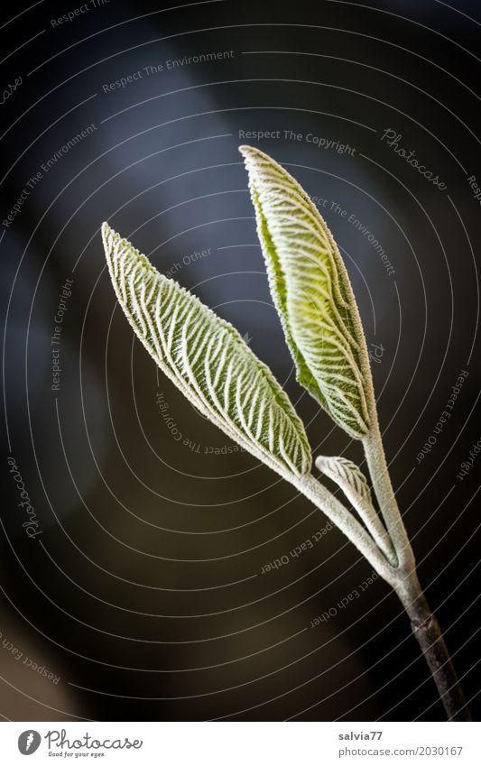 wachsen und gedeihen | Blatt für Blatt Umwelt Natur Pflanze Frühling Sträucher Zweig Blattknospe Wachstum ästhetisch frisch weich braun grün schwarz weiß Beginn