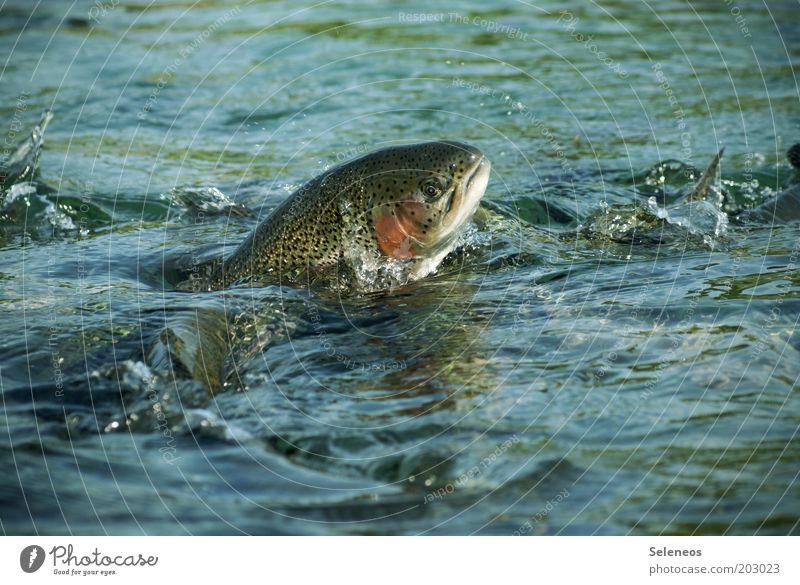 ordentlich Butter bei die Fische Natur Wasser Ernährung Tier springen Bewegung Freiheit See Wellen Lebensmittel Umwelt Wassertropfen nass Geschwindigkeit