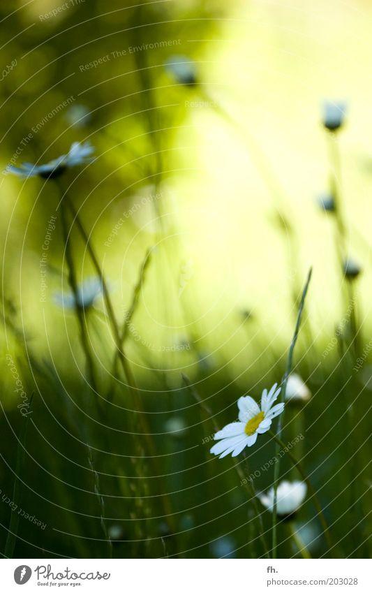 Sie liebt mich, Sie liebt mich nicht... Natur Pflanze Frühling Sommer Schönes Wetter Wärme Blume Gras Blüte Grünpflanze Margerite Blühend schön gelb grün weiß