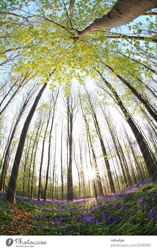 Sonnenschein im Frühling blühender Wald über Fischaugenblick Natur Landschaft Pflanze Baum Blume Blüte wild blau Buchsbaum Glockenblume Hyazinthe purpur violett
