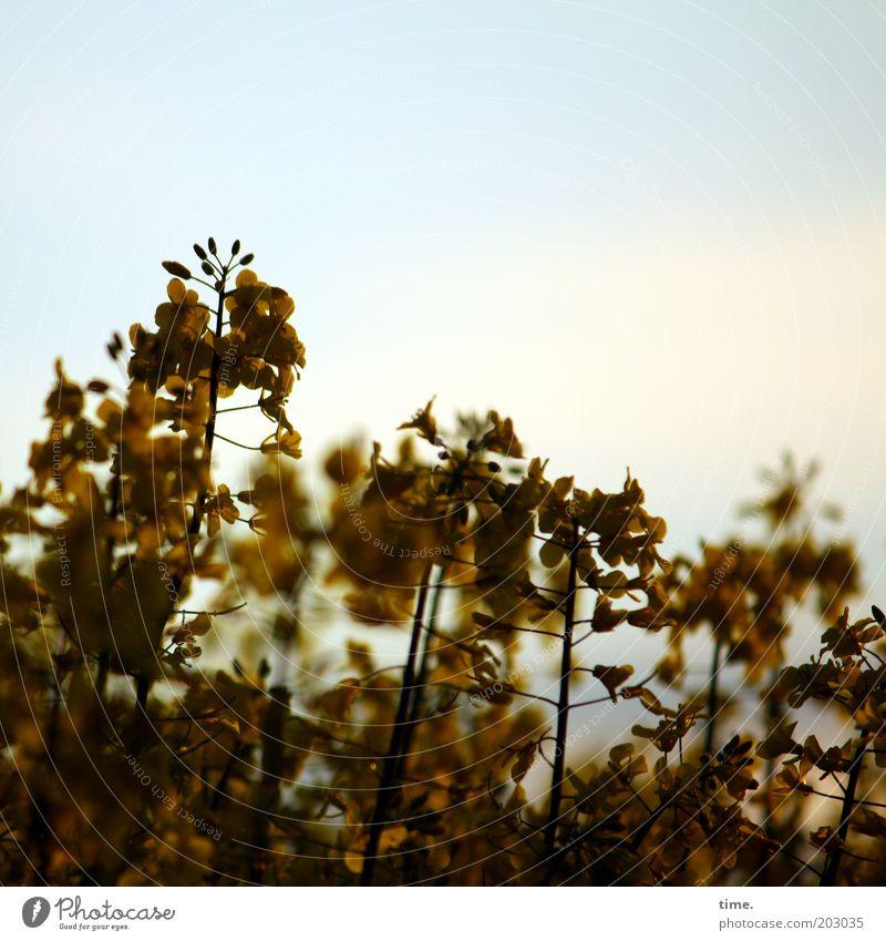 Tänzchen in der Dämmerung Pflanze Nutzpflanze Feld viele braun gelb gold Raps Rapsfeld Abenddämmerung durcheinander mehrfarbig Außenaufnahme Farbe