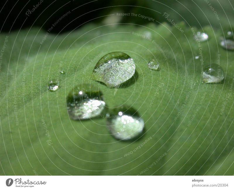 Naturtränen Blatt Pflanze grün Wassertropfen Detailaufnahme Nahaufnahme