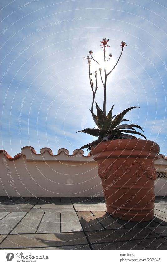 Sonnenblume Dekoration & Verzierung Dachterrasse Geländer Dachziegel Mönch und Nonne Himmel Sonnenlicht Sommer Schönes Wetter Pflanze Topfpflanze Traumhaus
