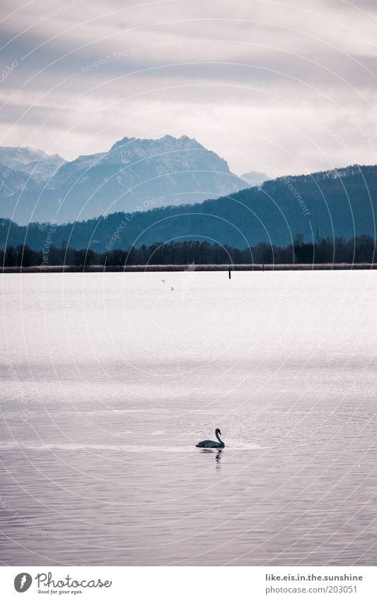 Schwan(en)see - kitsch olé Wasser schön Himmel weiß blau Winter Berge u. Gebirge See Vogel Küste glänzend elegant frei ästhetisch violett