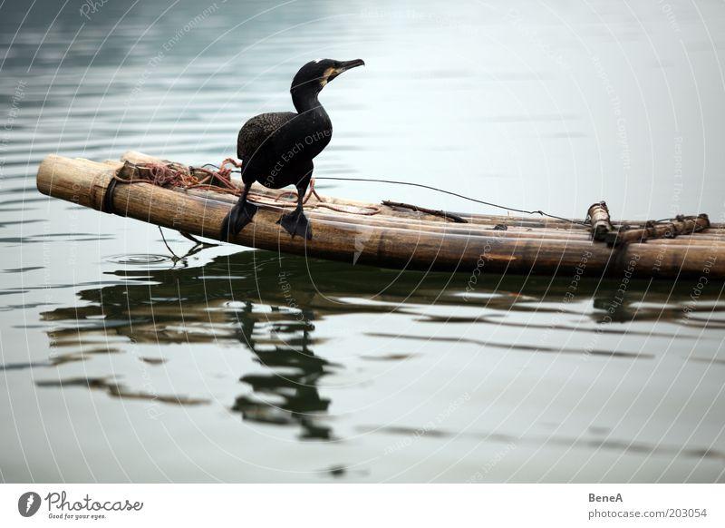 Kormoran Natur Wasser Tier See Vogel warten sitzen Fluss Bach Bambusrohr Nutztier Bambusboot