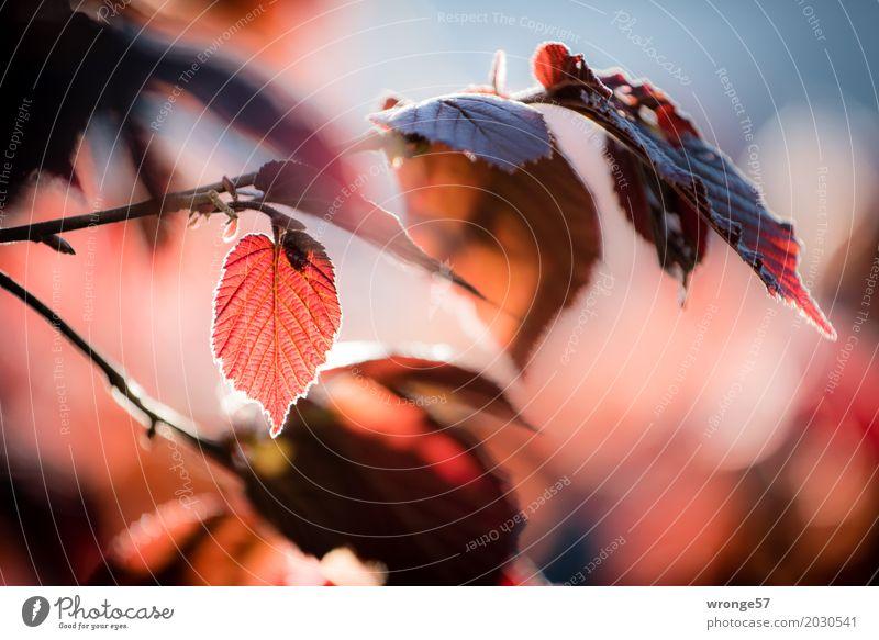Frühlingsgefunzel III Natur Pflanze Sträucher Blatt Haselnussblatt blau braun mehrfarbig rot Stimmung Frühlingsgefühle Gegenlicht Querformat rotbraun