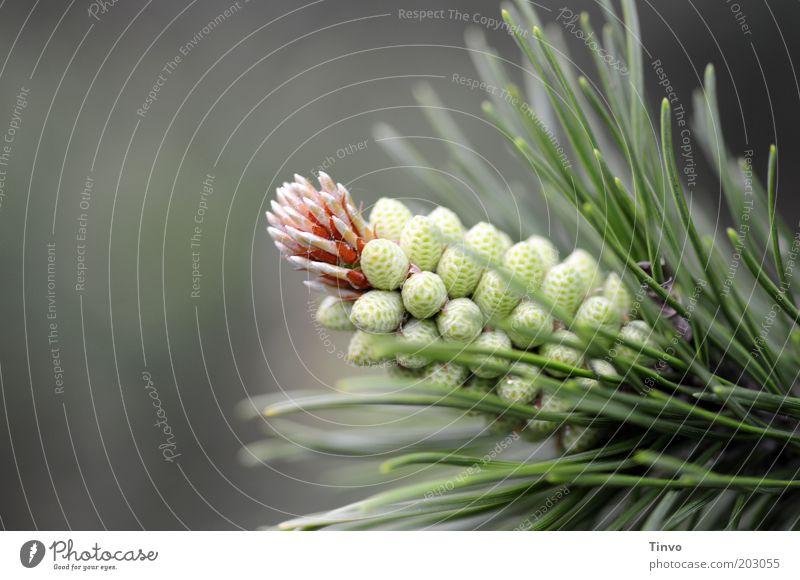 Kiefernzapfen Natur Pflanze Frühling Park Wachstum frisch Spitze dünn Duft Samen stachelig Trieb Nadelbaum Fortpflanzung Zapfen Textfreiraum links