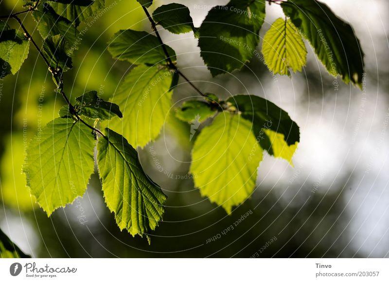 Buchenblätter Natur Frühling Schönes Wetter Pflanze Blatt Grünpflanze dunkel frisch grün Buchenblatt Pflanzenteile durchscheinend Blattadern Zweig Farbfoto