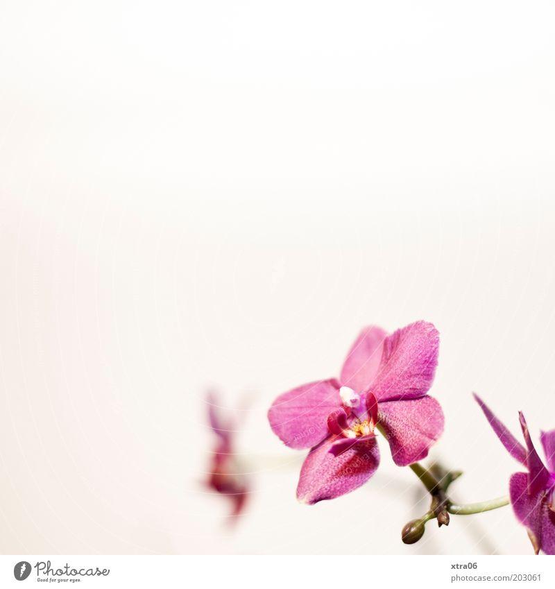 blüten im eck schön Blume Pflanze Blüte rosa ästhetisch exotisch Blütenknospen Orchidee Topfpflanze