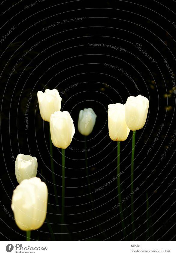 einzigartig Natur schön weiß Blume Pflanze schwarz dunkel Blüte Garten glänzend Wachstum außergewöhnlich Blühend leuchten Leidenschaft