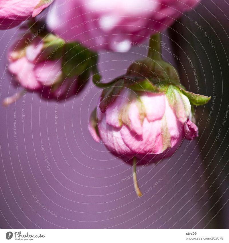 rosa in rosa Natur Blume Pflanze Blüte rosa