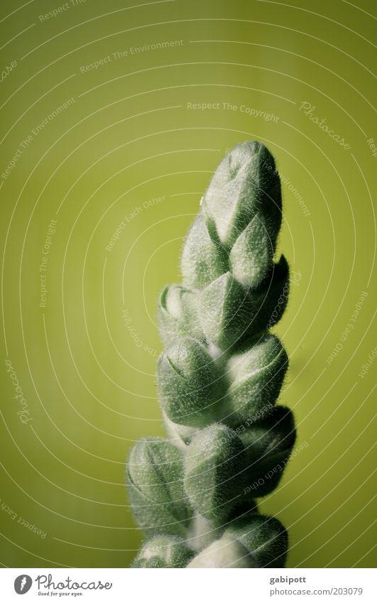 Spargelblume Natur grün Pflanze Gefühle Blüte frisch ästhetisch wild positiv exotisch Grünpflanze Frühlingsgefühle Spargelkopf Spargelzeit