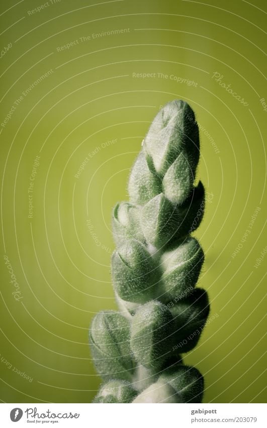 Spargelblume Natur grün Pflanze gelb Gefühle Blüte frisch ästhetisch wild positiv exotisch Grünpflanze Spargel Frühlingsgefühle Spargelkopf Spargelzeit