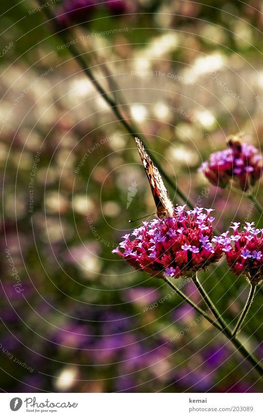 Nahrungsaufnahme Natur schön Sonne Blume Pflanze Sommer Tier Blüte Frühling Garten Park Wärme Umwelt Klima violett Flügel