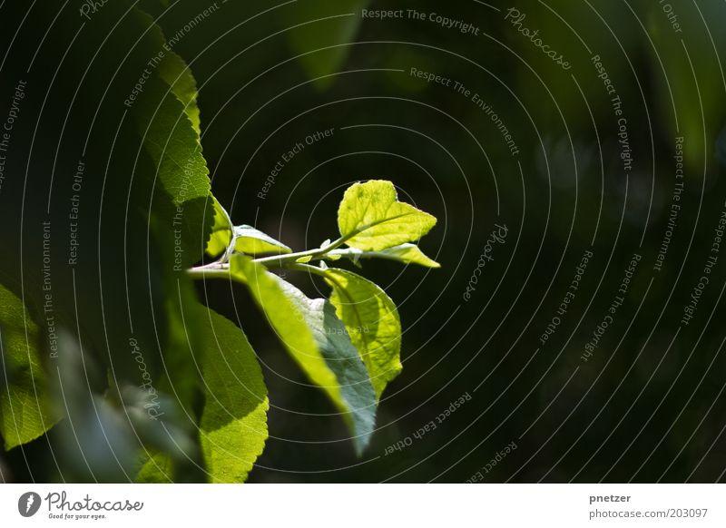 Blattgrün Natur grün schön Baum Pflanze Sommer Blatt Frühling wild einzigartig Idylle Schönes Wetter Grünpflanze Sonnenstrahlen Frühlingsgefühle Einstellungen