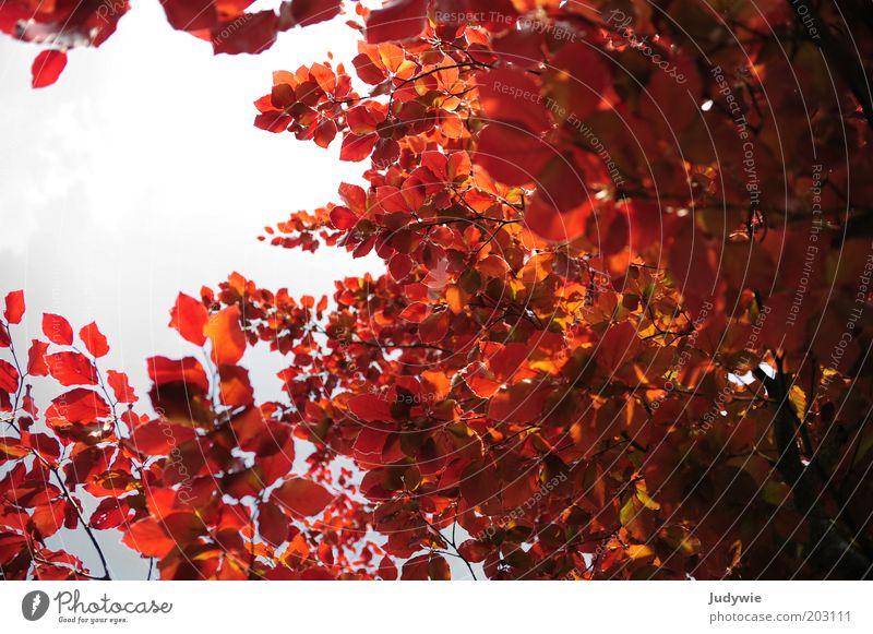 Rote Symphonie Umwelt Natur Pflanze Himmel Sommer Herbst Schönes Wetter Baum Blatt Rotbuche Buche Wald leuchten exotisch gigantisch natürlich schön rot Kraft
