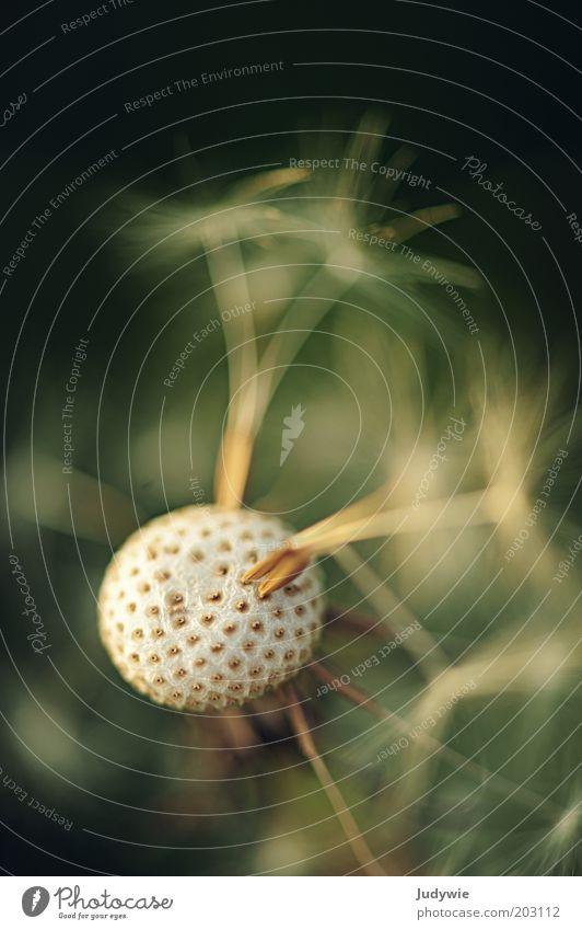 Weggepustet Umwelt Natur Pflanze Löwenzahn natürlich schön grün weiß Wachstum Farbfoto Außenaufnahme Nahaufnahme Detailaufnahme Makroaufnahme Menschenleer Tag