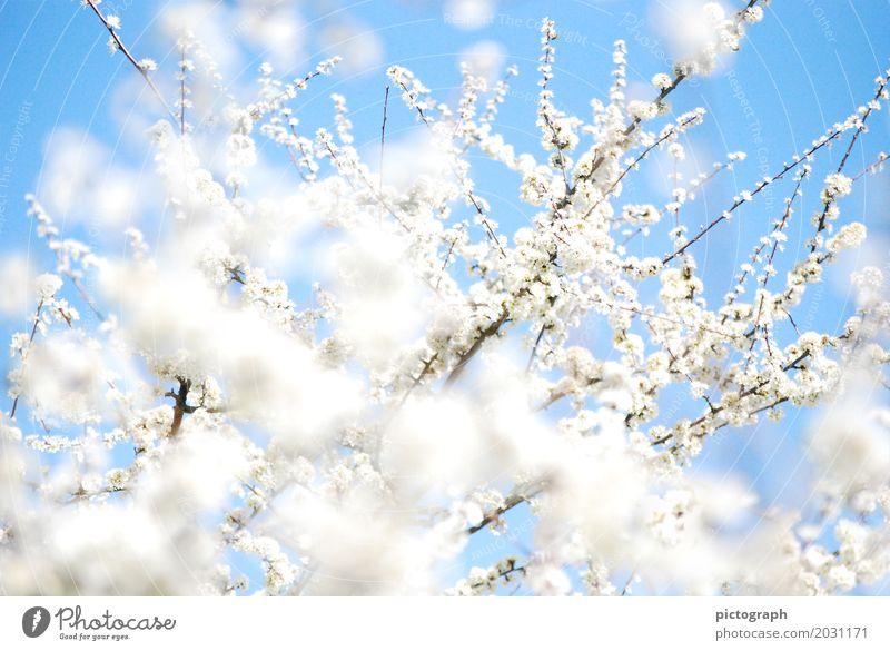 Schlehenfeuer Leben Hochzeit Natur Pflanze Sonnenlicht Frühling Sträucher Blüte Nutzpflanze Schwarzdorn Garten Blumenstrauß Blühend Duft Erholung glänzend