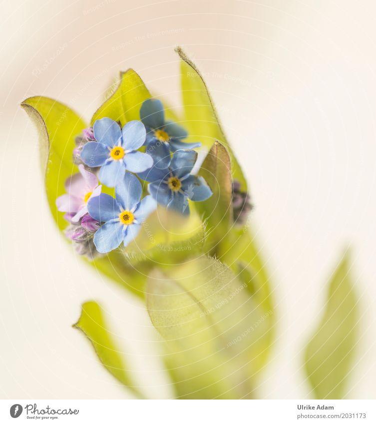 Vergissmeinnicht (Myosotis) Kunst Natur Pflanze Frühling Blume Blüte Vergißmeinnicht Cologne Fine Art hell hellgrün Blütenblatt Garten Park Wiese Kitsch