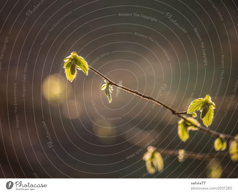 Frühlingslicht Umwelt Natur Schönes Wetter Pflanze Baum Blatt Zweige u. Äste Buchenblatt Park Wald Wachstum frisch Wärme weich braun grün Frühlingsgefühle