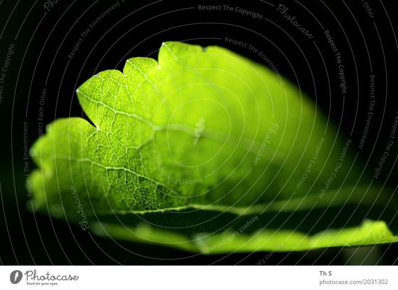 Blatt Natur Pflanze Sommer Farbe grün ruhig schwarz Frühling natürlich leuchten elegant frisch ästhetisch authentisch Blühend