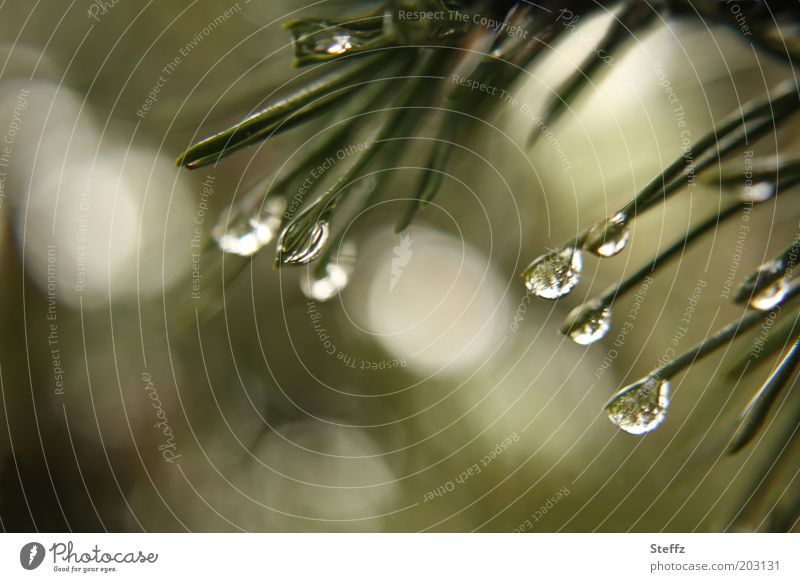 Kiefernnadeln im Mairegen Regentropfen Tannennadel Tropfen Wassertropfen dunkelgrün Duft natürlich nass duften Grünpflanze Wetter duftend Tannenduft grau