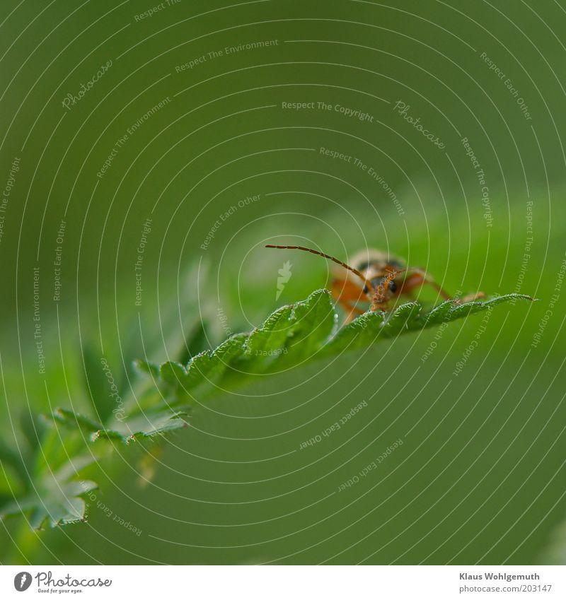 Käfer auf´m Blatt grün Pflanze rot Sommer schwarz Tier braun warten violett beobachten Fühler Unschärfe Wildpflanze