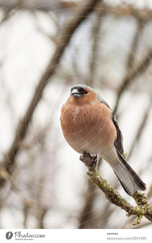 Buchfink sitzt auf Ast weiß Baum rot Tier ruhig schwarz Vogel orange sitzen Feder Ast hocken Buchfink
