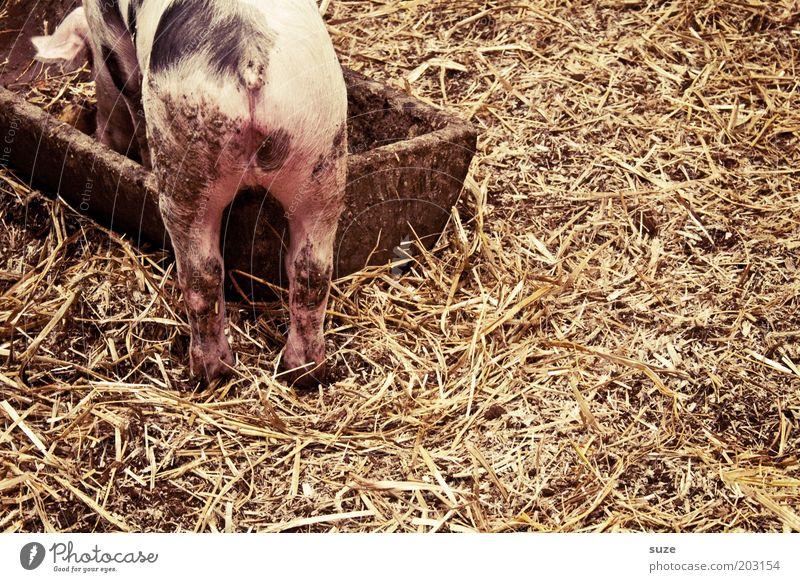 Schweinskram Ernährung rosa Dorf tierisch Fressen Säugetier Haustier Bioprodukte Stroh Stall gefleckt Trog Landwirtschaft Ferkel Tierliebe