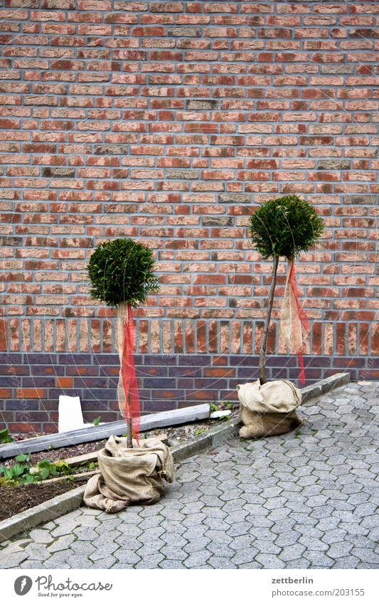 Frisch aus der Baumschule Pflanze Haus Mauer Garten Fassade paarweise Partnerschaft Backstein Kopfsteinpflaster Pflastersteine Verbundenheit Gartenbau
