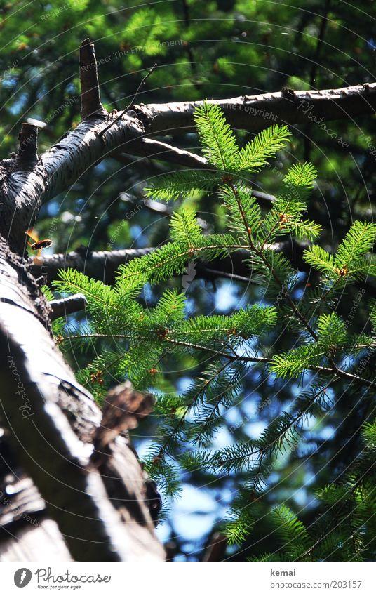 Waldwespe Umwelt Natur Tier Sonnenlicht Sommer Klima Schönes Wetter Wärme Baum Blatt Grünpflanze Wildpflanze Tanne Tannennadel Tannenzweig Baumstamm Ast Zweig