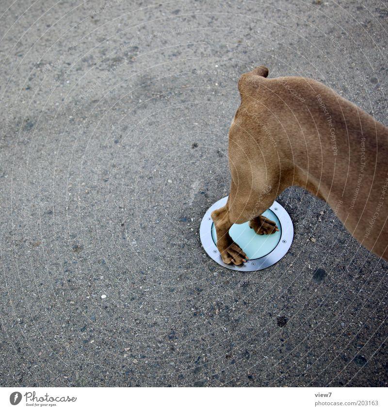 Tierteil Hund 1 Stein Beton Glas stehen außergewöhnlich dünn muskulös oben Weimaraner Beine Lampe Farbfoto Gedeckte Farben Außenaufnahme Experiment Menschenleer