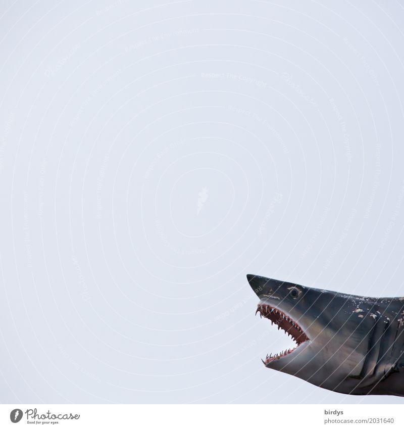 Baden auf eigene Gefahr Haifisch 1 Tier Jagd außergewöhnlich exotisch gruselig nah Kraft Mut gefährlich Aggression Entschlossenheit bedrohlich Macht Tod