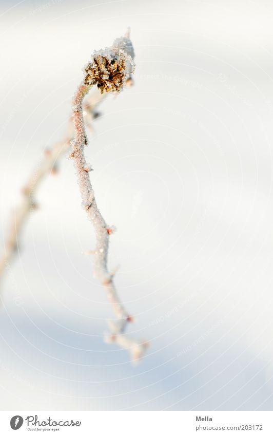 Ich hab da noch .... Natur weiß Pflanze Winter kalt Schnee Eis hell Umwelt Frost einfach Klima Ast natürlich gefroren Biegung